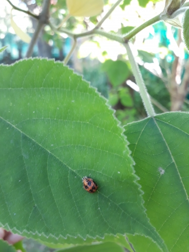 coccinelle,observation,cycle de vie