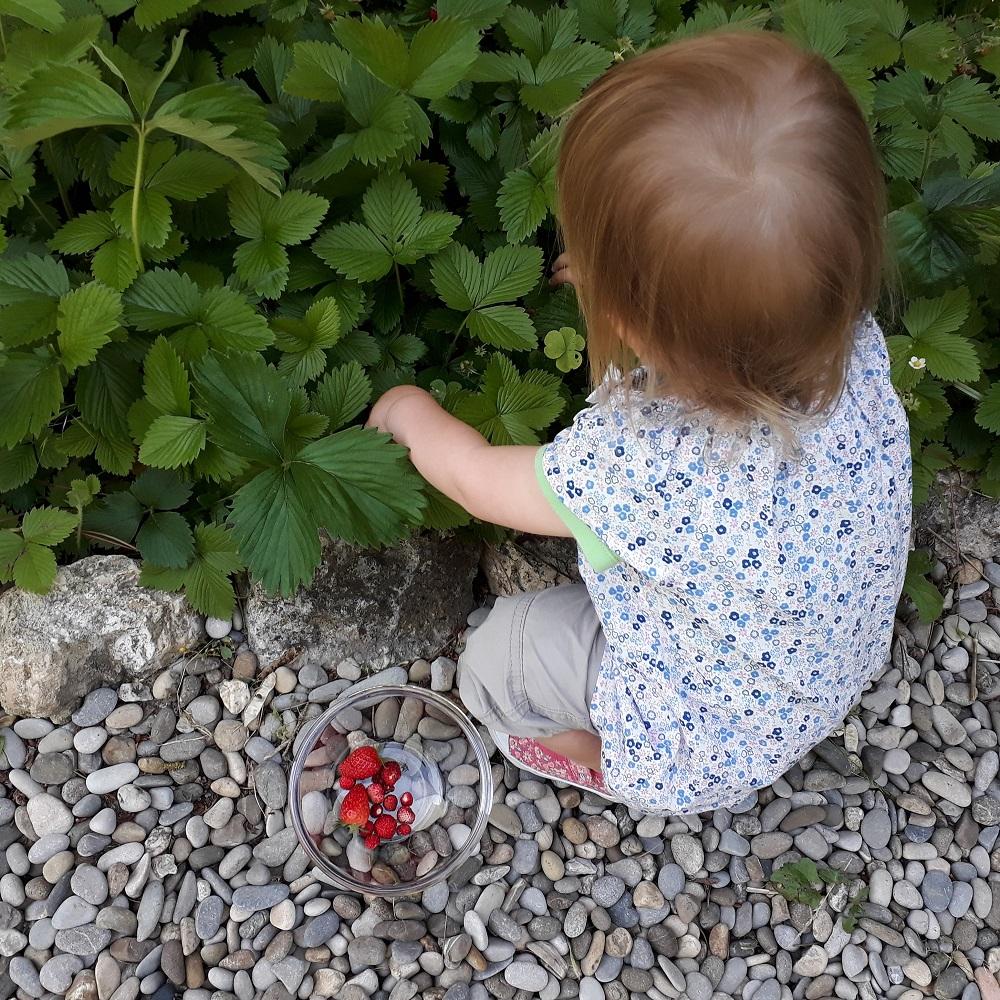 jardin,cueillette de fraise